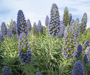 35-Samen-Echium-fastuosum-Natternkopf-Pride-of-Madeira