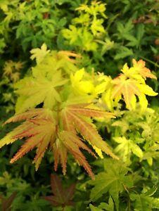Acer-palmatum-Orange-Dream-80-100cm-Japanahorn-orangener-Faecherahorn