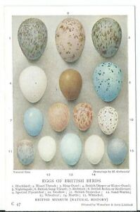 Eggs-of-British-Birds-Artist-Drawn-H-Gronvold-PPC-C47-Waterlow-amp-Sons-Unused