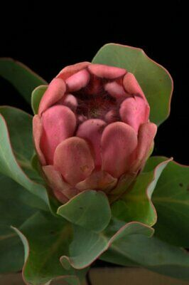 Forest Sugar Bush 5 Seeds of Protea mundii White Flowering Sugarbush