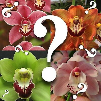 Cymbidium/_/_MYSTERY ORCHID/_/_no ID unknown hybrid BLOOMING SIZE SURPRISE EZ HARDY