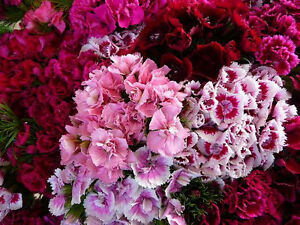 500-MIXED-SWEET-WILLIAM-Dianthus-Flower-Seeds-Gift