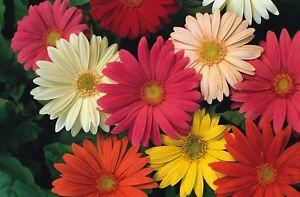 California Giant Gerbera African Daisy Mix 20 Seeds Perennial Flower