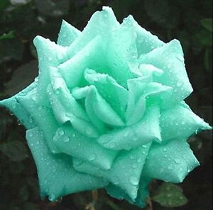 Butterfly-Love-Moon-Green-Rose-Seed-Mint-Garden-Flower-Rare-Plant-Seed