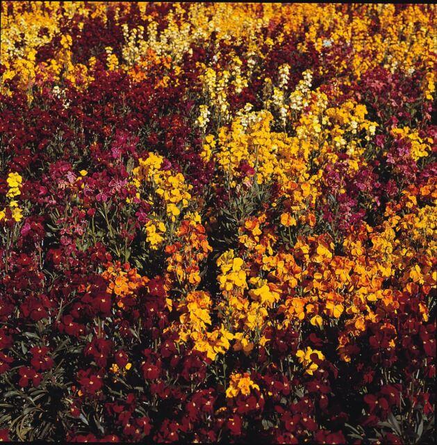 Flower - Wallflower - Persian Carpet Mix - 100g Seeds - XBulk
