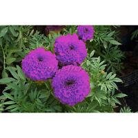 120 Pcs Beautiful Purple Blue Marigold Seeds Home Garden Flower Plant Seed Decor