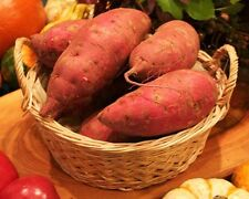 20 RED JAPANESE SWEET POTATO SLIPS / PLANTS - Organic Non GMO Heirloom Vegetable
