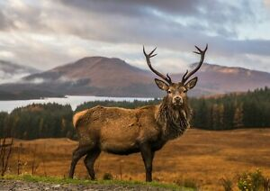 A4-Awesome-Majestic-Stag-Poster-Print-Size-A4-Wild-Animal-Poster-Gift-14361