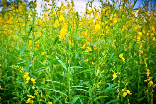 Crotalaria spectabilis voyante RATTLEBOX SEEDS jaune vif Wildflower facile