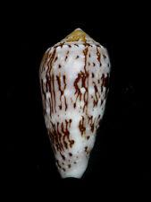 Formosa/shells/Conus floccatus 54mm