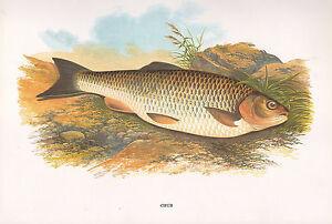 Vintage Faksimile Fisch Aufdruck ~ Chub ~ A F. Lydon