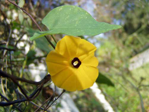 Morning glory ipomoea obscura v ethiopia yellow 10 seeds ebay mightylinksfo