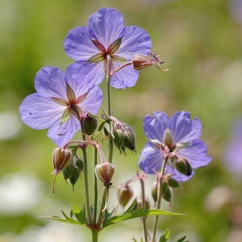 Geranium pratense / Meadow Cranesbill / British Wildflower / 20 Seeds