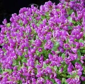 Little Bibi Polygala Myrtifolia Oppositifolia Hardy Purple Flowers