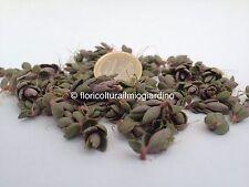 50 Germogli di Kalanchoe Daigremontiana - Spedizione CORRIERE 24/48h
