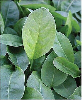 Herb  - Sorrel - Belleville - 750 Seeds