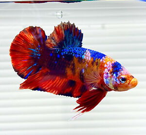 """US SELLER (A-Grade) Male Galaxy 🌌 2.5"""" Giant Betta imported from Thailand"""