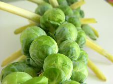 Brussel Sprout Cabbage Seeds (Pack of 50 Seeds) V-009 x 2