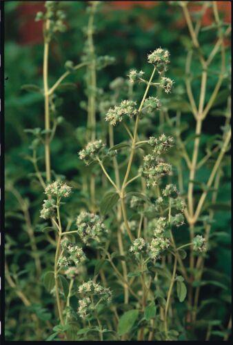 2500 graines Fines herbes-Pennyroyal-Mentha Pulegium