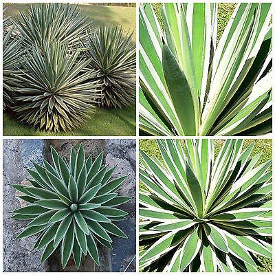 10 Samen der Dasylirion lucidum saftig Sukkulenten,seed succulents G