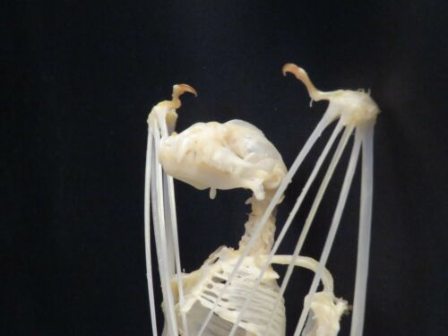Véritable squelette de chauve souris Hipposideros diadema 17 cm ostéologie