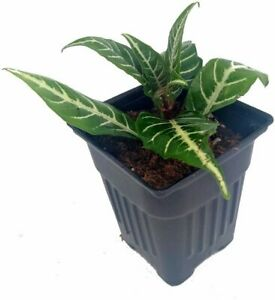 Snow-White-Zebra-Plant-Aphelandra-Exotic-and-Unusual-House-Plant-4-034-Pot