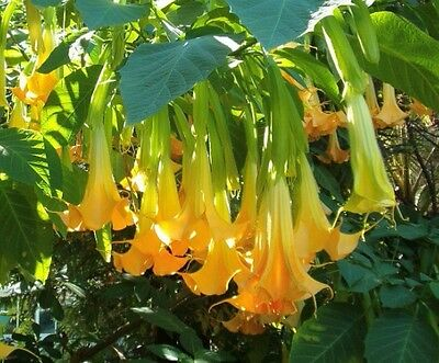 Brugmansia Pumpkin Yellow 5 Seeds, Angel Trumpet Cultivar Tree /Small Shrub