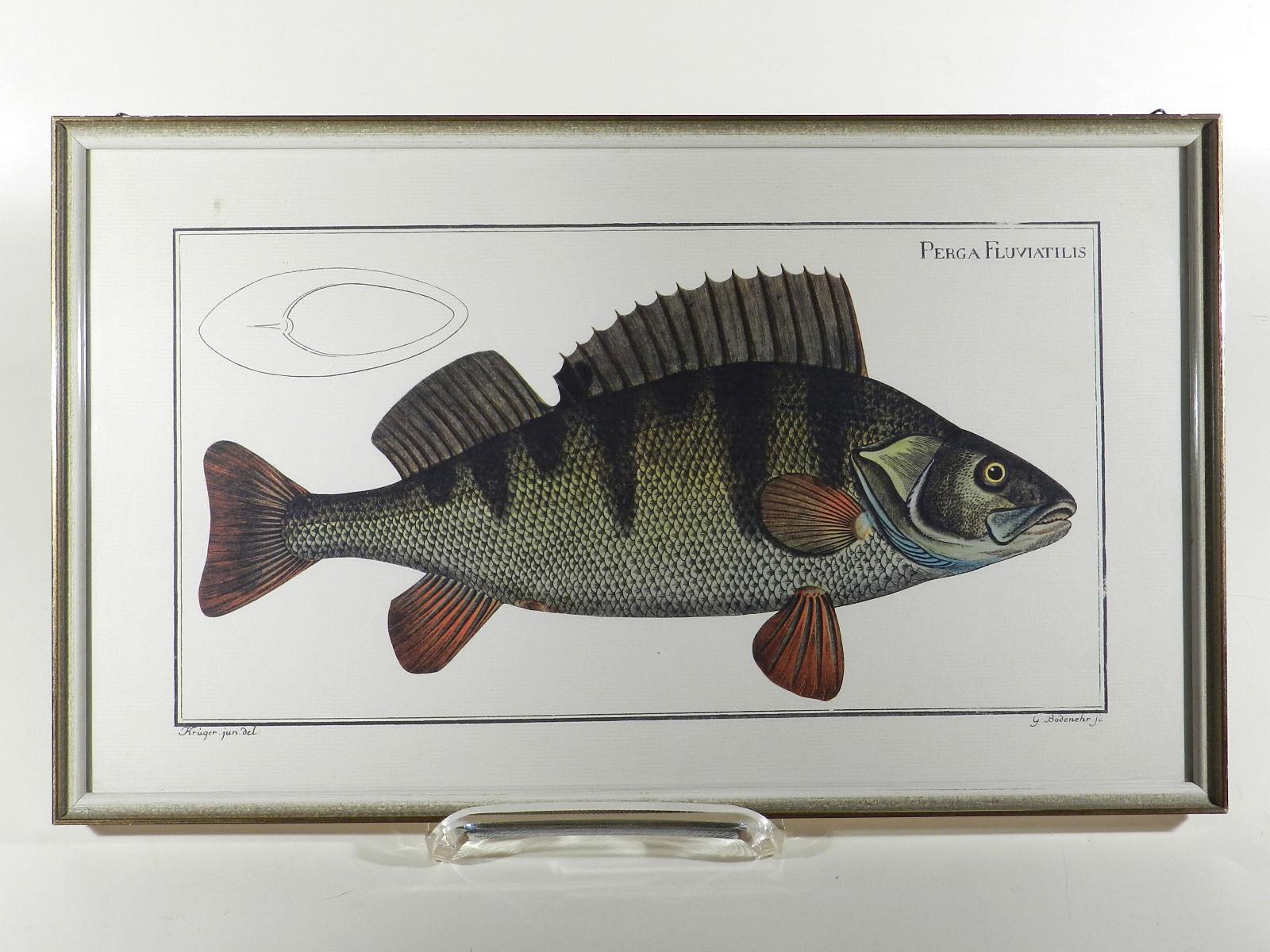 Rapina pesce Perga fluviátil is ° la stampa offset ° refloglas ° commercio d'arte Weber Mainz