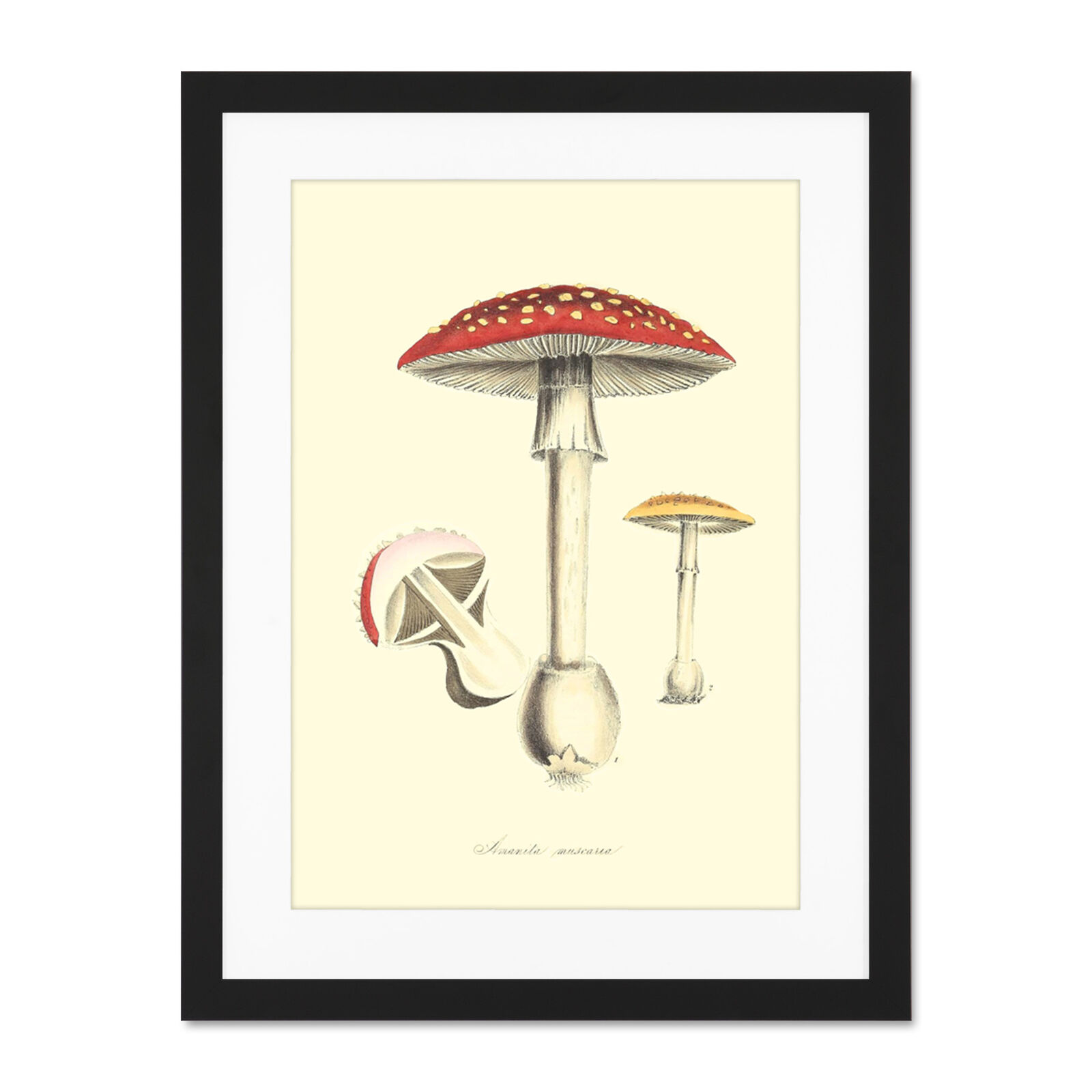 Fungus Amanita Muscaria Fly Agaric Magic Mushroom Large Framed Kunst Drucken Poster