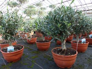 Olivenbaum-Bonsai-Formgehoelz-Olive-winterhart-Olea-europaea