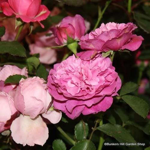 light pink Hybrid Perpetual Rose /'Baronne Prevost/' Bare root shrub rose