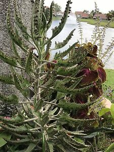 Mother of Thousands Kalanchoe Daigremontiana Alligator Plant - USA on plant care, plant life in mexico, plant called string of hearts, plant called crown of thorns, plant mother of the world,