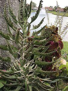 Mother-of-Thousands-Kalanchoe-Daigremontiana-Alligator-Plant-USA-SELLER