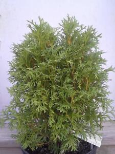 1-Little-Giant-Arborvitae-Tree-Thuja-Occidenatlis-039-little-giant-039-11-034-17-034