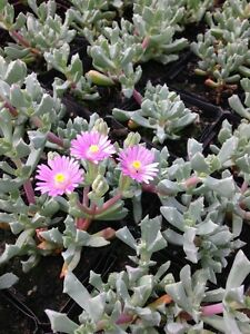 OSCULARIA-DELTOIDES-034-ICE-PLANT-034-Garden-Desert-Succulent-Plant-Ground-Cover