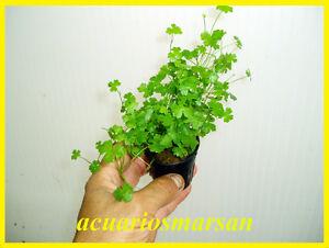 Planta-de-acuario-gambario-Hydrocotyle-tripartita-Japan