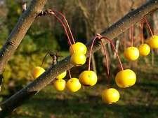 15+ WINTER GOLD CRAB APPLE SEEDS - Malus