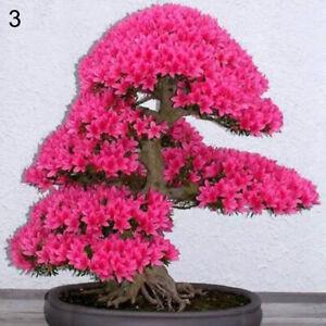 Am-BL-20Pcs-Rare-Sakura-Cherry-Blossoms-Seeds-Flower-Plant-Bonsai-Potted-Home
