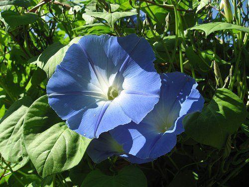 Ipomea tricolor /'Heavenly blue/' Morning Glory 50 Samen Echten Prunkwinde