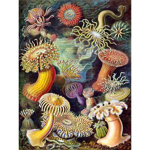 Haeckel-Anemone-Sea-Life-Large-Wall-Art-Print-18X24-In