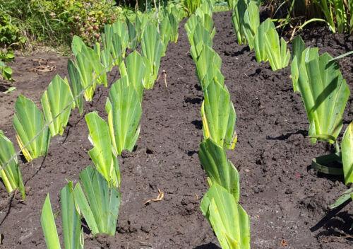 Barbu nain Iris-Banbury volants-jardin vivace-Les Manic Botanic ®