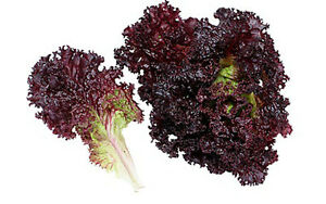 Seeds-hampion-of-Salad-Lettuce-Lolo-Rossa-Red-Vegetable-Organic-Russian-Ukraine