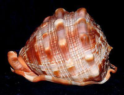 "ONE (1) 5 to 6"" CAMEO CYPRAECASSIS RUFA SEA SHELL, AFRICAN BULLMOUTH HELMET"