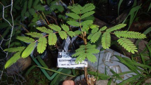 Mimosa Albizia julibrissin Silktree Persian Acacia bare root plant