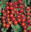 Seeds-Tomato-Vishenka-Red-Vegetable-Organic-Heirloom-Russian-Ukraine thumbnail 5