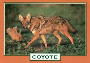 Greeting-Card-Showing-A-Photo-of-A-Cayote-Vintage-Used-Postcard-A28