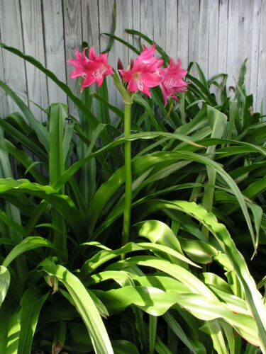 small-size bulb Ellen Bosanquet Crinum Lily