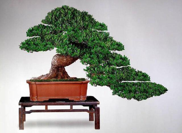 Podocarpus Macrophyllus Maki Buddha Pine Tree Seeds For Sale Online Ebay