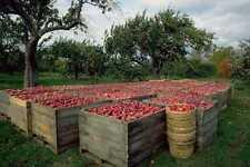 802003 Annapolis Valley Apple Harvest Nova Scotia Canada A4 Photo Print
