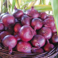 Cebolla-Holanda del Norte Rojo Sangre - 250 Semillas